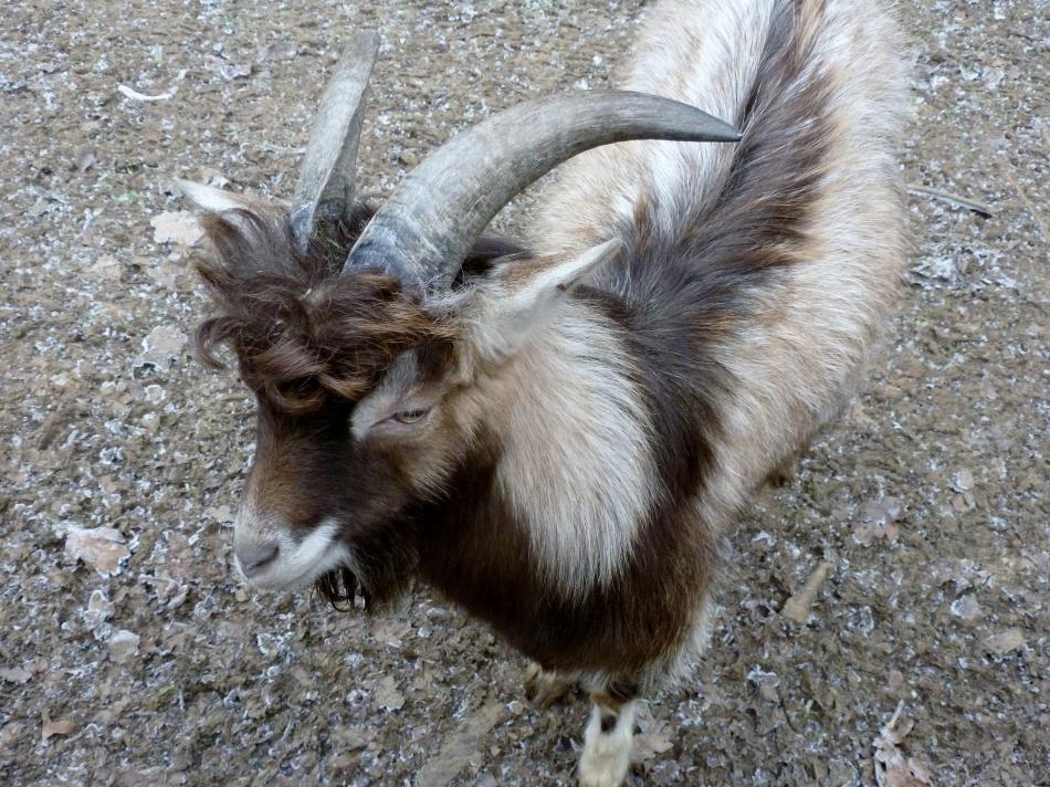 Schaf mit Locken G.B.