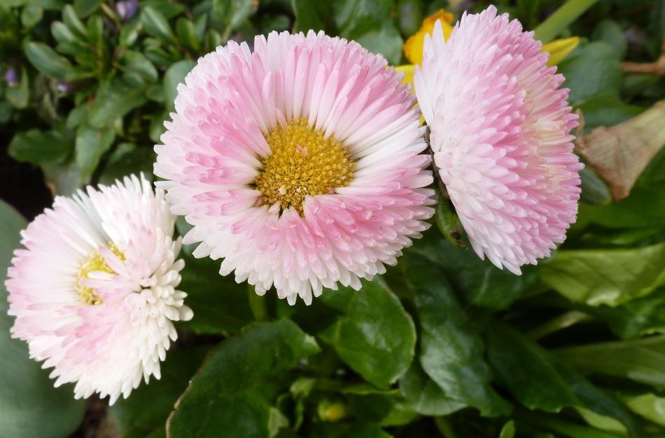 Blume Bellis G.B.