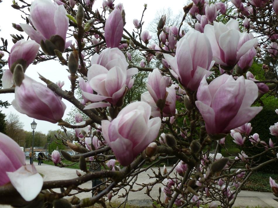 Magnolien wunderschön