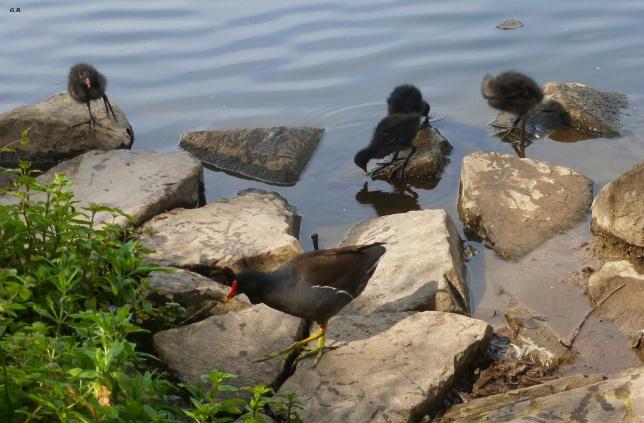 Wasserläufer mit ihren jungen am See