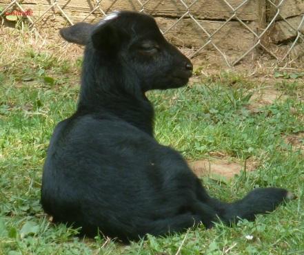Ein kleines schwarzes Schaf