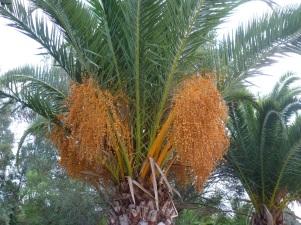 Palmbeeren