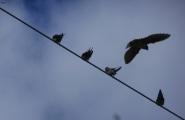 Schwalben beim Sammeln