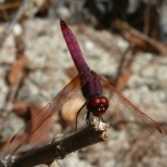 Rote Libelle auf der Futtersuche.