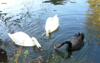 Zwei weiße Schwäne und ein schwarzer,sie gehen auf die Reise und siehen ihre kreise.