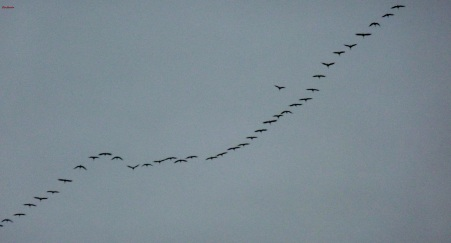 Kraniche auf ihren weiten Flug