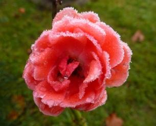 Du bist die Rose der Tränen.Deine Schönheit ist unvergessen.