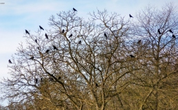 Ein Baum vieler Krähen