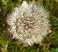 Eine kleine Löwenzanhn Blüte