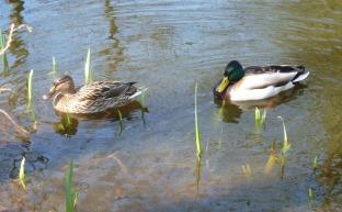 Ein Entenpaar.