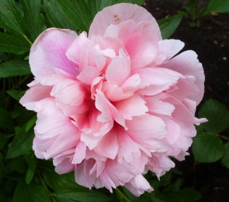 Eine Rosa Pfingstrose..