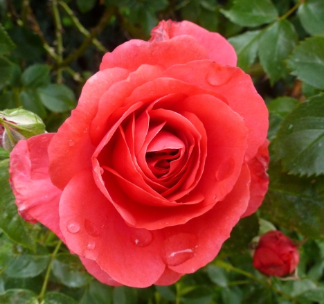Eine Rose für die Mutter