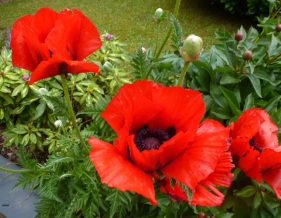 Roter Mohn..
