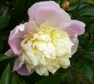 Ein zartes lila habe ich,und bin wunderschön...