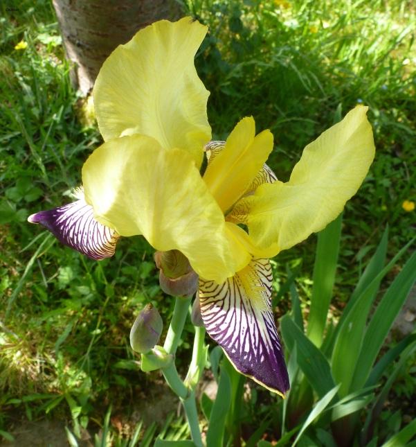Gelb mit blau schöne Lilie.