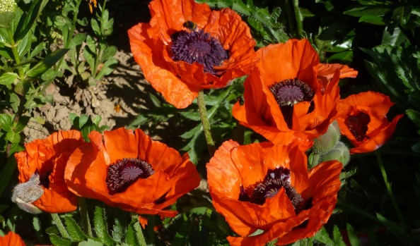 Toller roter Mohn.