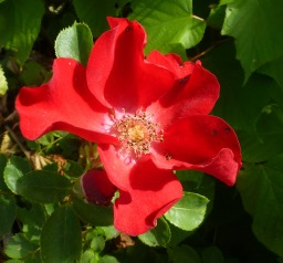 Wide rote Rose