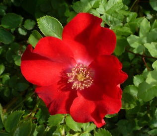 Rote wide Rose