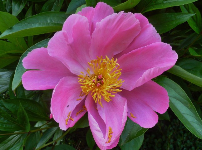 Wilde Rose in Lila.