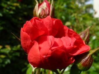 Wunderschöne Rose.