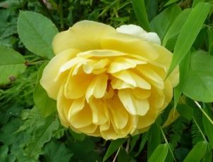 Gelb wie die Sonne ist diese Rose.