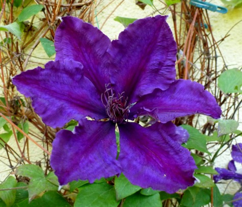 Eine lila Clematis