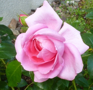 Ein zartes Rose der Duft ist berauschend.