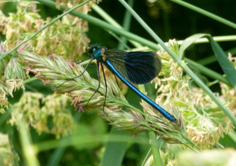 Eine blaue Libelle und das war Glück das ich sie gekriegt habe..