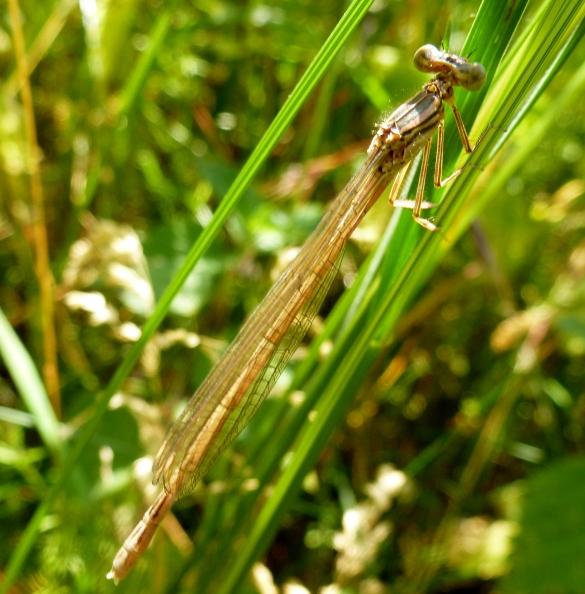 Eine braune Libelle.