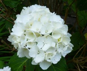 Eine weiße Hortensie.