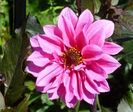 Dahlie so schön Rosa.