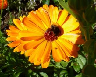 Blume mit Humel