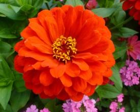 Eine Orange Dahlie