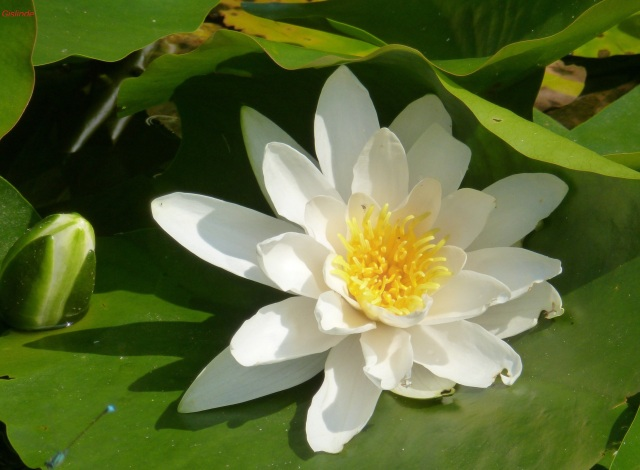 Eine weiße Seerose