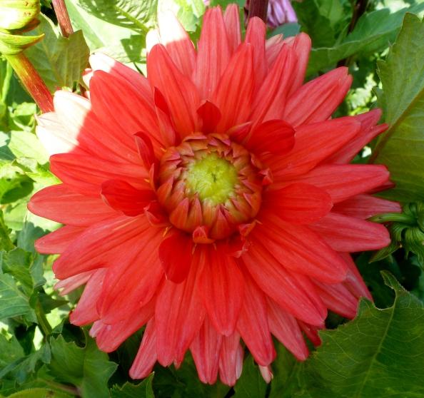 Ein schönes Rosa...