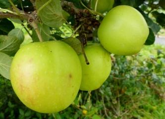 So Dicke Äpfel.