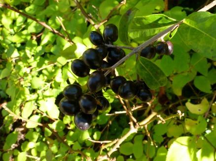 Schwarze Kirschlorbeeren