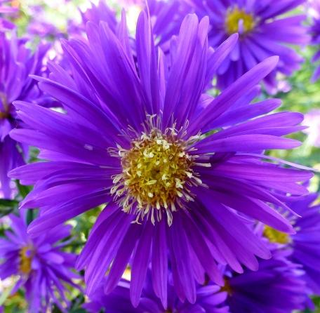 Lila Asterblüte wunderschöne Farbe.