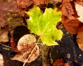 Ahorn blad