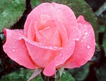 Rosa wie die Treue..