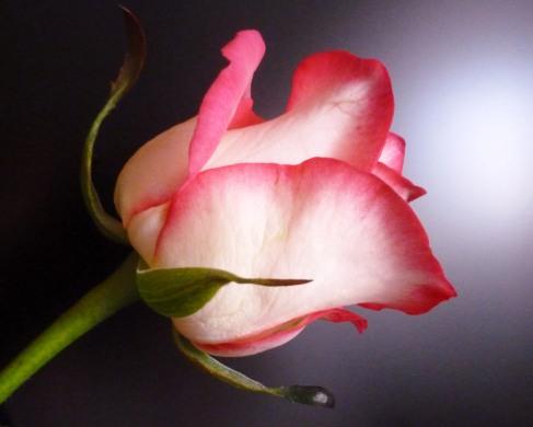 Rosa mit weiß wunderschön
