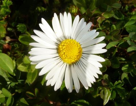 Ein kleines Gänseblümchen
