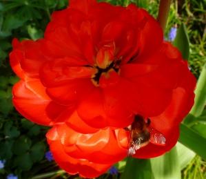 Eine schön rote Tulpe