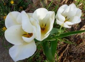 Tulpen in weiß