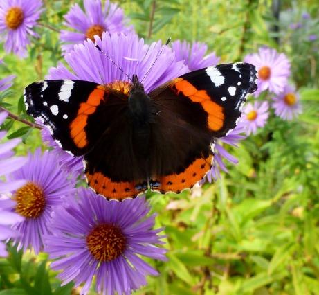 Schmetterling sucht süssen Netar