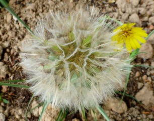 Samen von Löwenzahn mit Blüte..