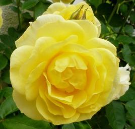 Gelb wie der Sonnenschein.