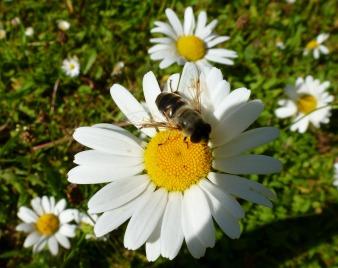 Margeriten mit Biene