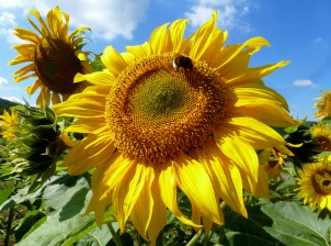So gelb wie die Sonne