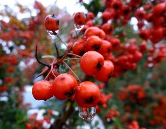 Schöne rote Beeren